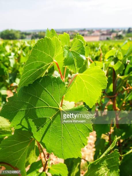 rully vineyards, nära meursault, volnay och pommard i bourgogne i frankrike - côte d'or bildbanksfoton och bilder