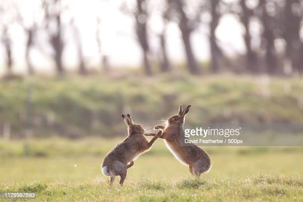 rumble in the fens - mad march hare stock photos and pictures