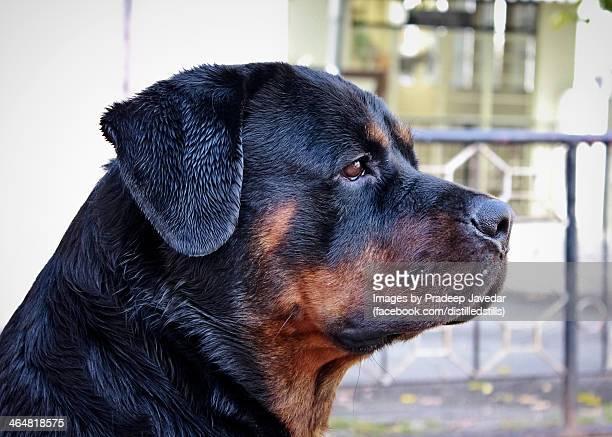Rummy the Rottweiler