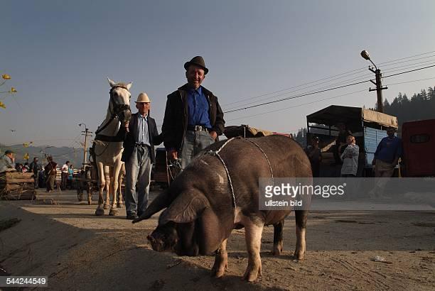 Rumänien Transsilvanien SiebenbürgenViehmarkt in Cimpeni Bauer mit Pferdewagen vorne ein Schwein