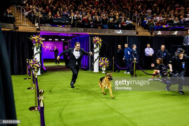 Rumor a German Shepherd and his handler enter the ring to compete for 'Best In Show' at the 141st Westminster Kennel Club Dog Show in New York US on...