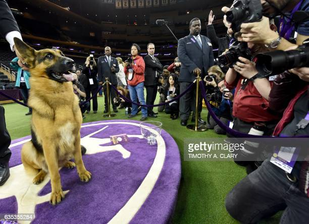 Rumor a German shepherd stands next to Kent Boyleshis the handler after it won 'Best in Show' at the Westminster Kennel Club 141st Annual Dog Show at...