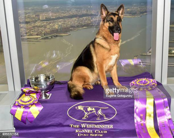 Rumor the German Shepard, winner of 'Best in Show' at the Westminster Kennel Club 141st Annual Dog Show, poses for a photo at One World Observatory...
