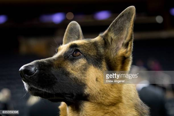 Rumor the German Shepherd poses for photos after winning Best In Show at the Westminster Kennel Club Dog Show at Madison Square Garden, February 14,...