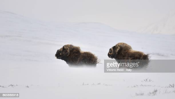 run for life - musk ox stock photos and pictures