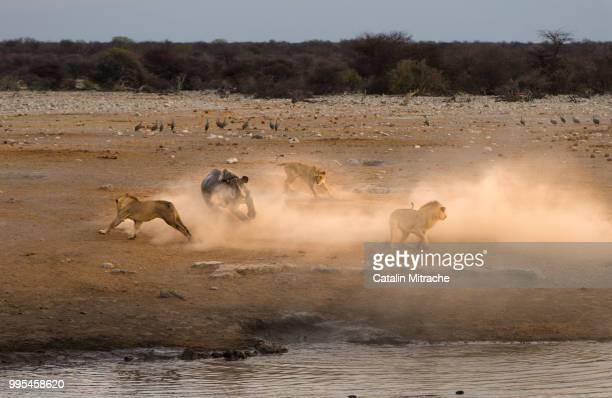 run for your life! - leones cazando fotografías e imágenes de stock