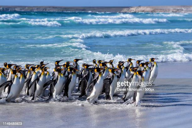 run! - east falkland island stock pictures, royalty-free photos & images