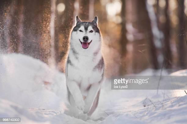 run! - cão de puxar trenó imagens e fotografias de stock