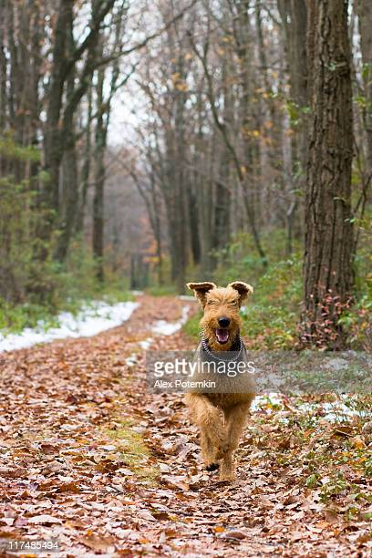 running Airedale terrier
