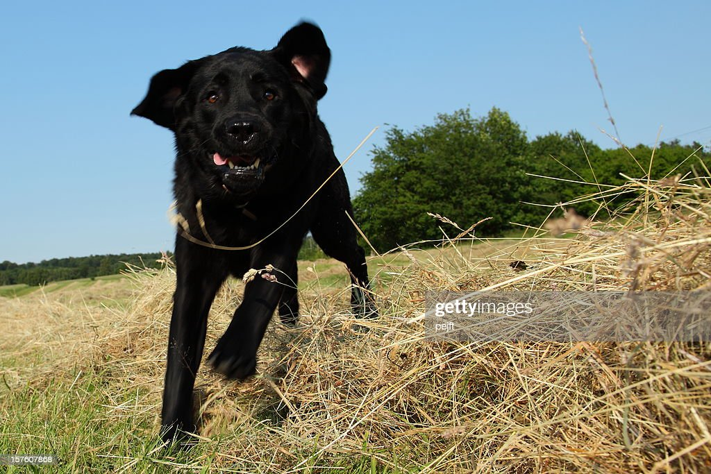 Running and jumping hunting black Labrador Retreiver dog in hay : Stock Photo