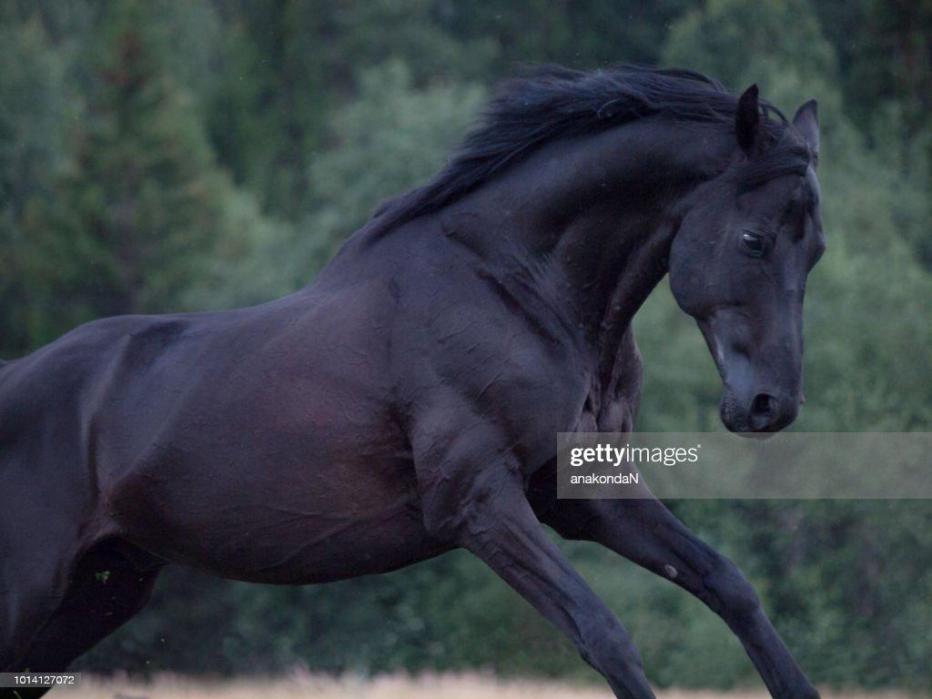 running beautiful black Trakehner stallion at dark evening at tree background : Stock Photo