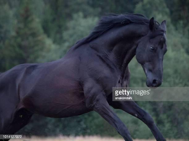 running beautiful black Trakehner stallion at dark evening at tree background