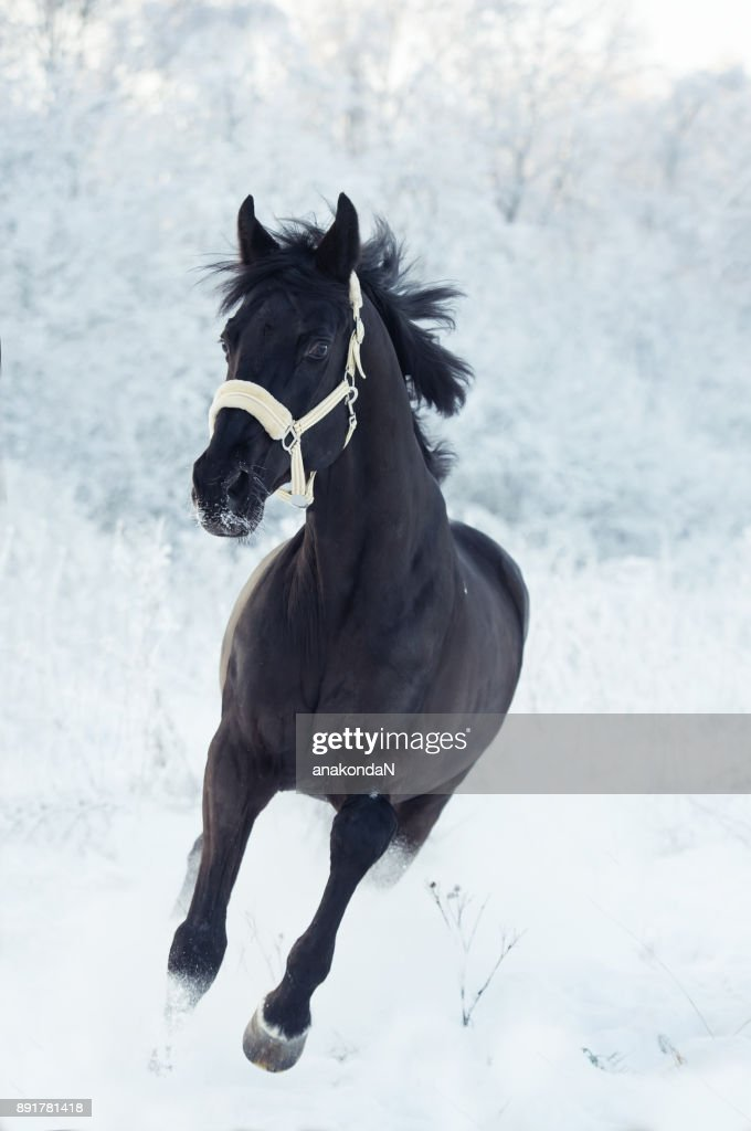 Running Black Horse At Snow Winter Season High Res Stock Photo Getty Images