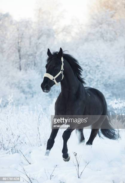 running black horse at snow. winter season