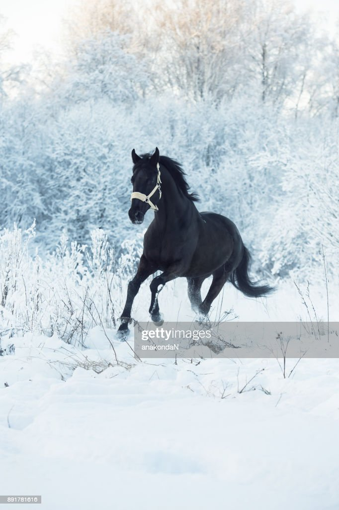 Running Black Horse At Snow Winter Season Foto De Stock Getty Images