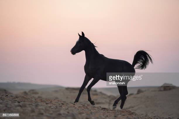 running black young arabian horse   in desert at sunset. dark evening