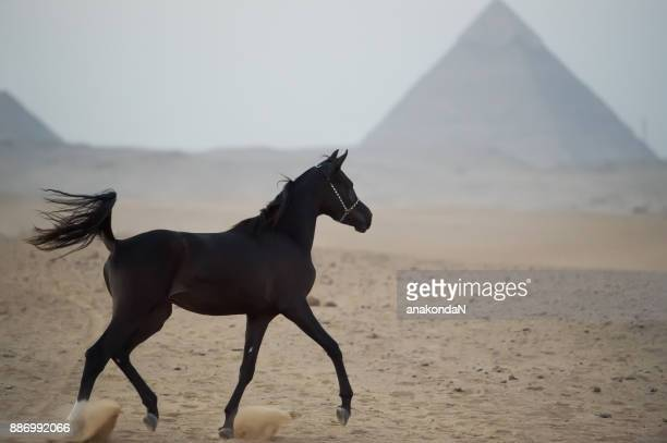 running black young arabian horse in front of the egyptian pyramids
