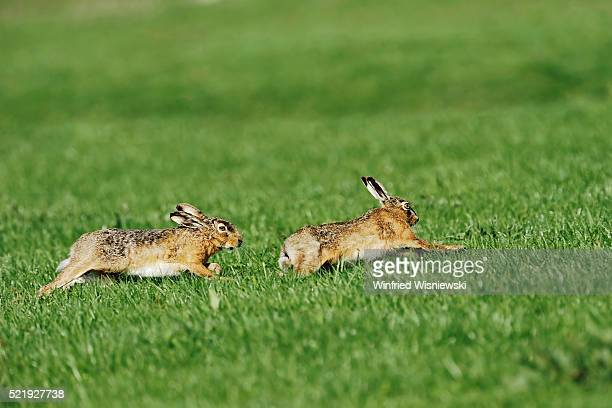 running brown hares - lagomorphs stock pictures, royalty-free photos & images