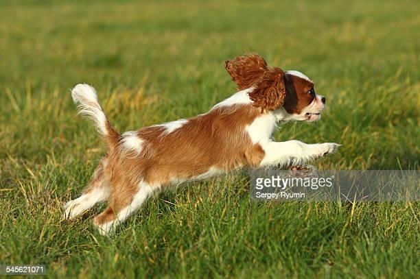 running cavalier king charles spaniel - cavalier king charles spaniel stock pictures, royalty-free photos & images