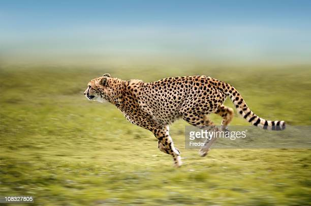 running cheetah - rushing the field stock pictures, royalty-free photos & images