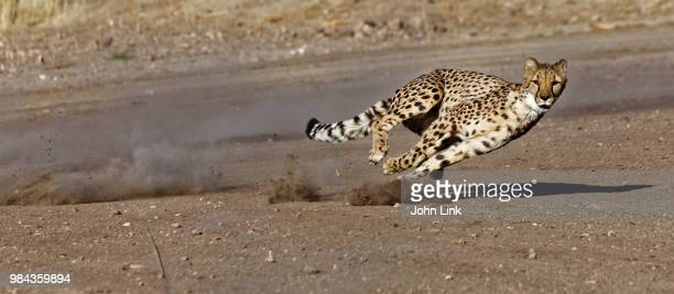 a running cheetah. - cheetah stock pictures, royalty-free photos & images