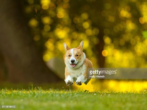 Running corgi