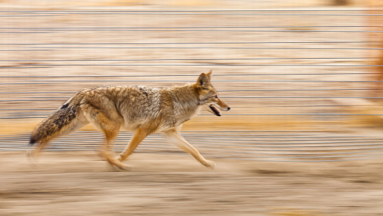 Running coyote with motion blur from panning the camera. Focus is on the eye. 646356546
