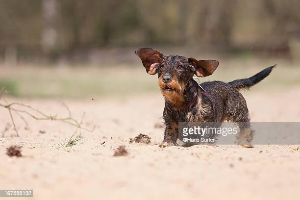 Running dachshund's