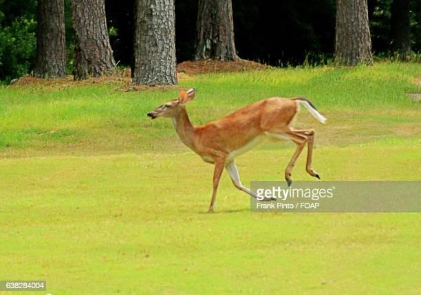 running deer on green grass - biche photos et images de collection