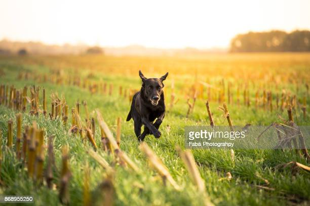 running dog outside - black labrador stock pictures, royalty-free photos & images