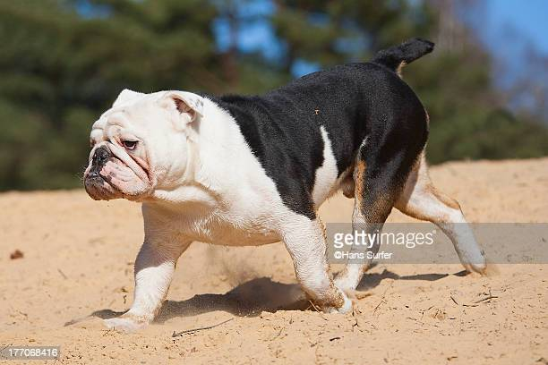 A running English Bulldog!