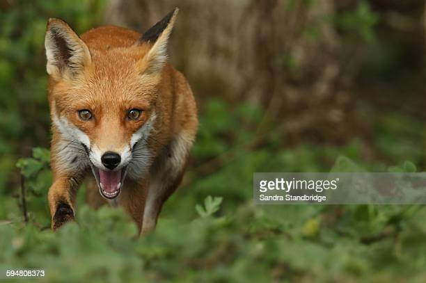 a running fox. - fox stock pictures, royalty-free photos & images