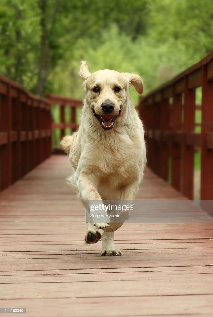 Running Golden Retriever : Stock Photo