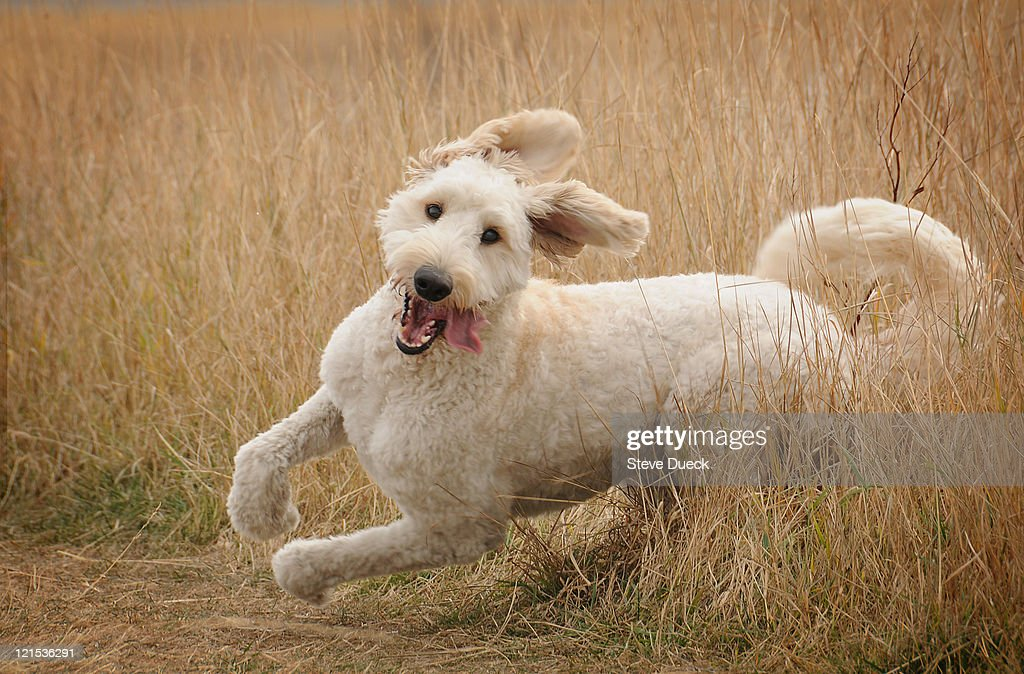 Running Goldendoodle Stock Photo Getty Images