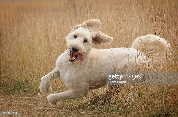 running goldendoodle - goldendoodle stock photos and pictures