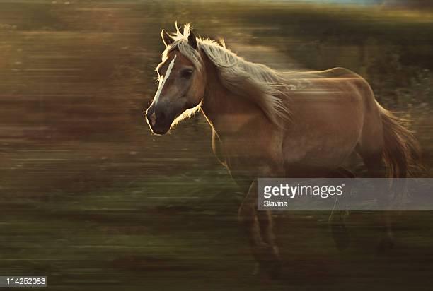 Running haflinger horse.