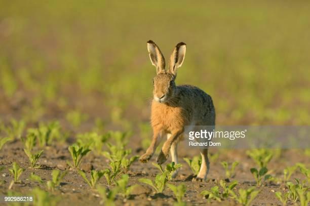 running hare (lepus europaeus) in a field, north rhine-westphalia, germany - lepre comune foto e immagini stock