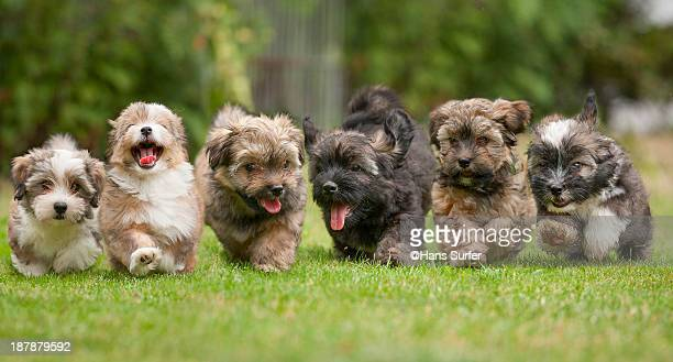 6 Running Havanese puppies of 9 weeks!