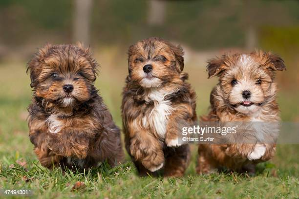 3 running havanese puppys in a row! - three animals stock pictures, royalty-free photos & images