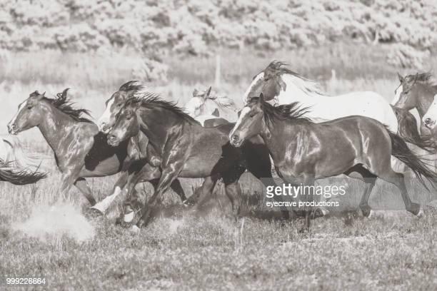Running Herd of Horses in Utah