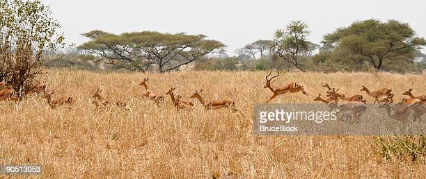 Running Herd of Impala