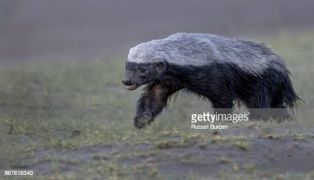 Running honey badger