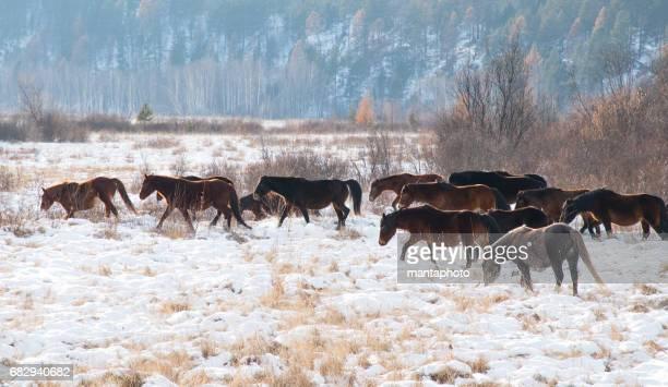 Running horses in the winter