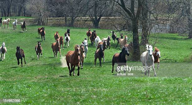 Running Horses Race Up a Grassy Meadow