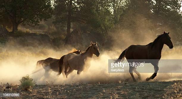 Laufen Pferde mit Hintergrundbeleuchtung Staub aufgewirbelt