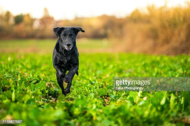 running labrador - spaß stock pictures, royalty-free photos & images
