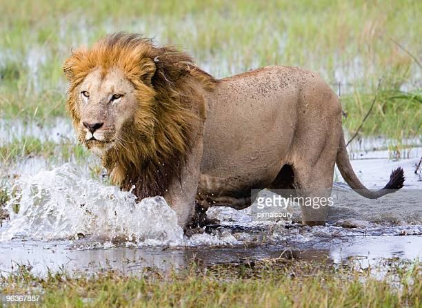 ランニングのライオン