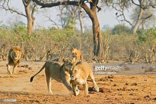 Running lions (Panthera leo), Savuti, Chobe Nationalpark, Botswana, Africa