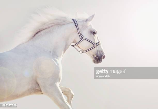 running Lipizzaner horse at gray  background