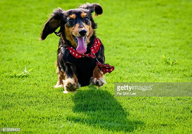 a running long haired dachshund dog - dachshund stock pictures, royalty-free photos & images